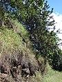 Starr 061201-1739 Grevillea robusta.jpg