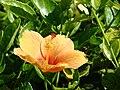 Starr 070111-3206 Hibiscus rosa-sinensis.jpg