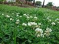 Starr 070313-5640 Trifolium repens.jpg