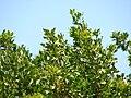 Starr 070404-6627 Conocarpus erectus.jpg