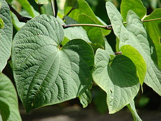 Kava Species of plant