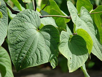 Kava - Piper methysticum leaves
