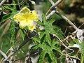 Starr 080531-4916 Momordica charantia.jpg