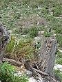 Starr 080606-6913 Casuarina equisetifolia.jpg