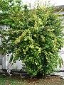 Starr 080608-7564 Hibiscus rosa-sinensis.jpg