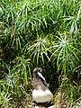 Starr 080610-8393 Cyperus involucratus.jpg