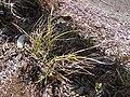 Starr 090213-2468 Unknown cyperaceae.jpg