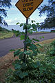 Starr 990810-1056 Pueraria montana var. lobata.jpg