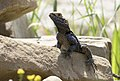 Stellagama stellio - Roughtail Rock Agama 03.jpg
