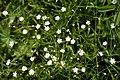 Stellaria graminea L. (7806794494).jpg