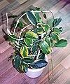 Stephanotis variegata (hydroponics) 01.jpg