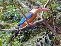 Stork-billed Kingfisher, Goa.jpg