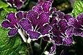 Streptocarpus Galaxy Jason 2zz.jpg