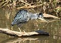 Striated heron, Butorides striata, at Walter Sisulu National Botanical Garden, Gauteng, South Africa (29438273202).jpg