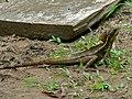 Striped Basilisk (Basiliscus vittatus) (7087546943).jpg