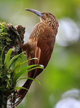 Strong-billed woodcreeper 2.jpg