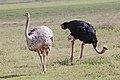 Struthio camelus -Ngorongoro Conservation Area, Tanzania -pair-8.jpg