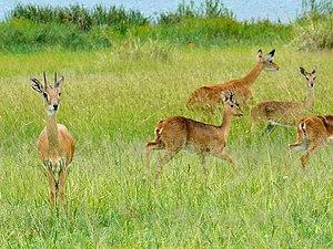 Oribi - A male (left) and small group of females