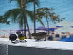 Sugar feasting at La Plage, St Maarten, Oct 2014 (15758295702).jpg