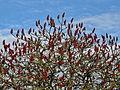 Sumak octowiec, 12 kwiecień. Wiele drzew dookoła już zielonych, a sumak uporczywie śpi zimowym snem..jpg