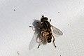 Sumpfschwebfliege Helophilus pendulus 7941.jpg