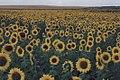 Sunflower fields in eastern North Dakota (10163667153).jpg