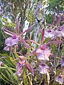 Suvarnabhumi Orchids Farm IMG 20160322 080714 (27170410940).jpg