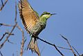 Swallow-tailed bee-eater, Merops hirundineus, at Elephant Sands Lodge, Botswana (31445018704).jpg