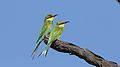 Swallow-tailed bee-eater, Merops hirundineus, at Kgalagadi Transfrontier Park, Northern Cape, South Africa (33691949814).jpg