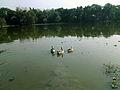 Swan's in pond.jpg