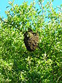 Swarm of Honey Bees attached to a branch.JPG
