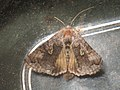 Syngrapha interrogationis - Scarce silver Y - Металловидка черничная (40398132414).jpg
