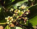 Syzygium caryophyllatum 16.JPG