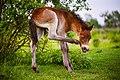 Týdenní hříbě exmoorského pony v Přírodní rezervaci velkých kopytníků Milovice.jpg