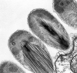 Verrucomicrobia Phylum of bacteria