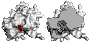 TEV protease - Image: TEV substrate binding tunnel