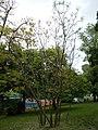 Tabáni Botanikai Tanösvény. Amerikai vasfa (Gymnocladus dioicus). - Budapest.JPG