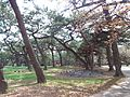 Takashi-Ryokuchi Park - Pine trees.jpg