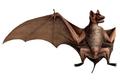Taphozous nudiventris.png