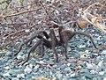 Tarantula Mt Diablo.jpg
