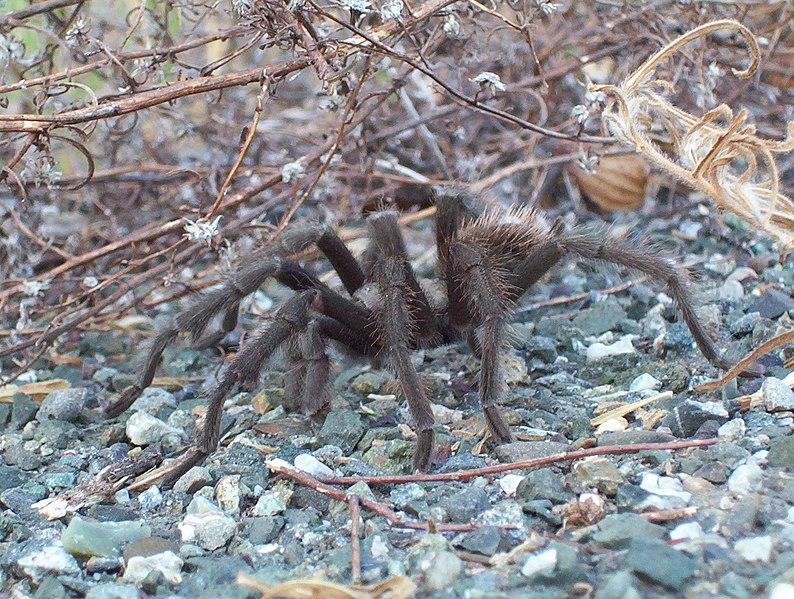 File:Tarantula Mt Diablo.jpg
