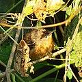Tawny-bellied babbler at Tikarpara Odisha India December 2012 (4).jpg