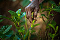 Tea crops gathering process. Bogawantalawa Valley. Sri Lanka-4.jpg