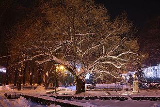 Tilia tomentosa - Eminescu's Linden Tree, Iaşi, Romania