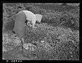Tenant Farmer Picking Tomatoes.jpg