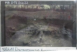 Tendaguru Formation - Skeleton of Dicraeosaurus hansemanni in the Tendaguru Formation