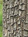 Terminalia elliptica - Begur, Wayanad 06.jpg