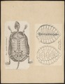 Testudinidae spec. - 1700-1880 - Print - Iconographia Zoologica - Special Collections University of Amsterdam - UBA01 IZ11600015.tif
