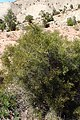 Tetraclinis articulata kz06 Morocco.jpg