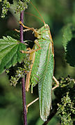 Tettigonia viridissima qtl4.jpg